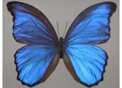 Бабочка Морфо Дидиус 12В04