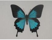 Бабочка Парусник Улисс 12В07