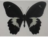 Бабочка Парусник Гамбризиус 12В06