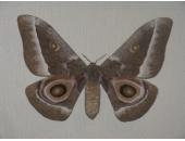 Бабочка Имбразия замбийская 12В05