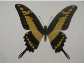 Бабочка Парусник тоас 12В03