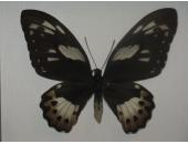 Бабочка Птицекрылка Приамус  12В02